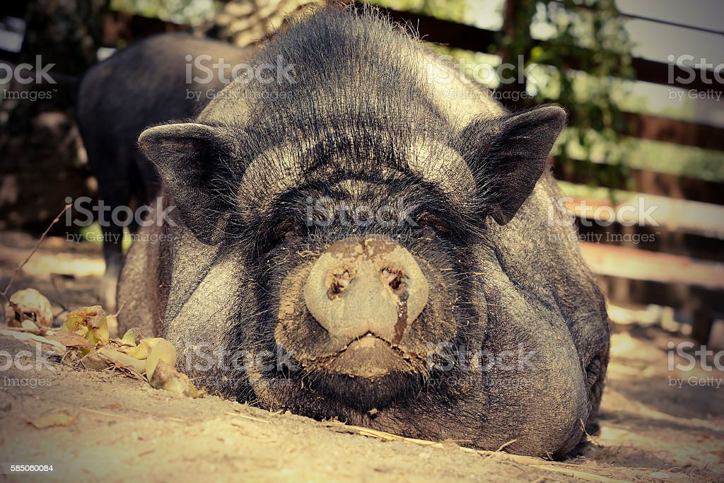 lazy pig on the ground stock photo