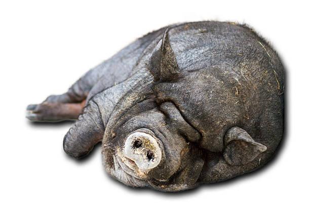 faule katze auf weiß - pig ugly stock-fotos und bilder