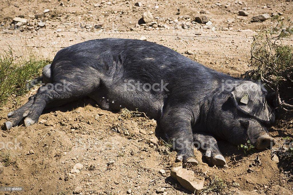 lazy pig stock photo