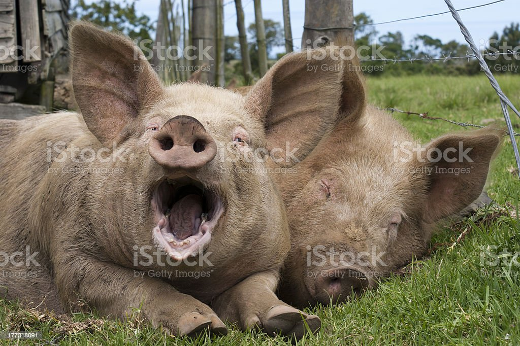 Lazy Pigs stock photo