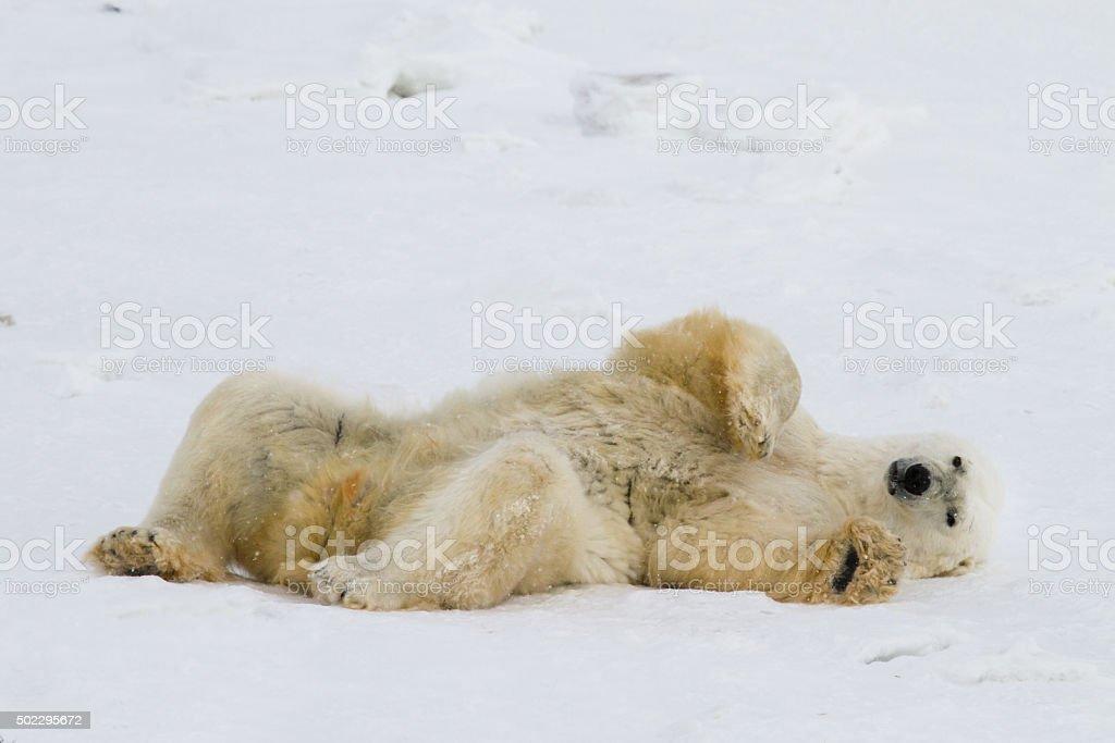faule Eisbär – Foto