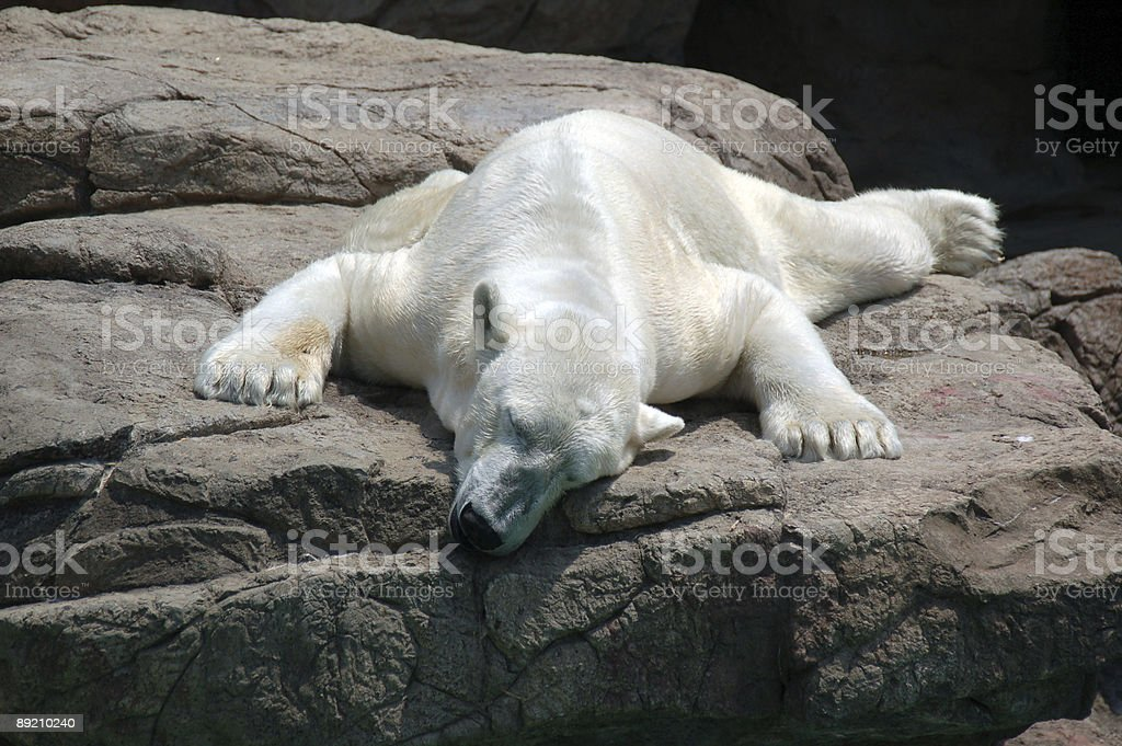 lazy polar bear stock photo