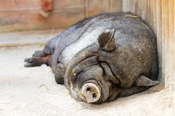 lazy hängebauchschwein - pig ugly stock-fotos und bilder