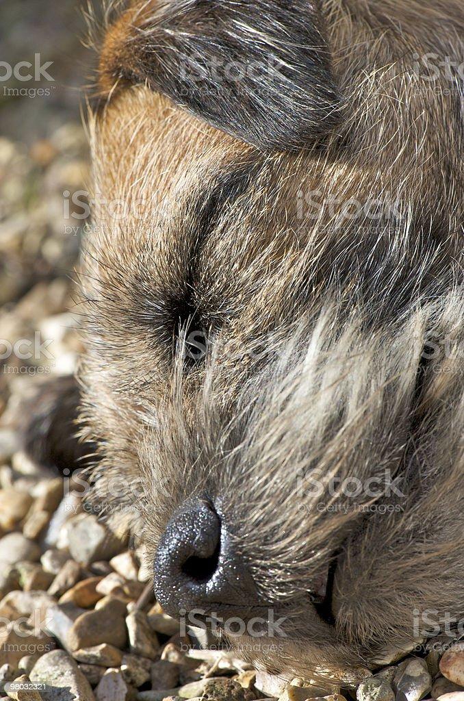 Lazy Pup royalty-free stock photo