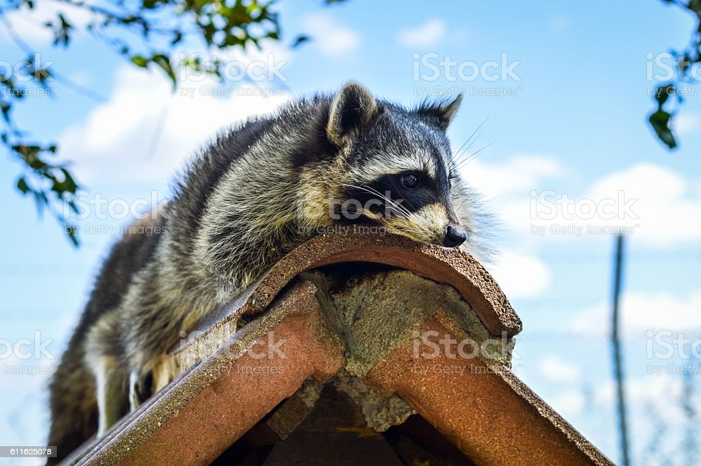 Lazy Raccoon on a roof - Procyon lotor stock photo