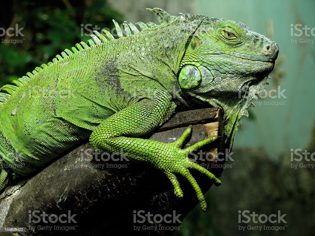 Lazy reptile rests on the branch stock photo