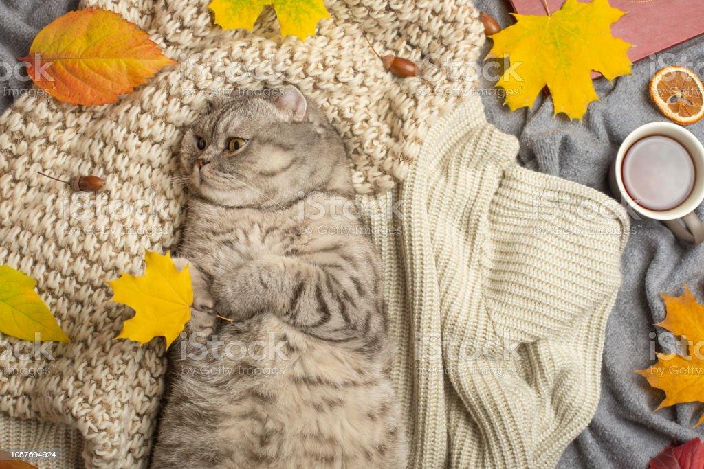 A lazy Scotland or British cat hugs a leaf and sleeps on a soft wool...