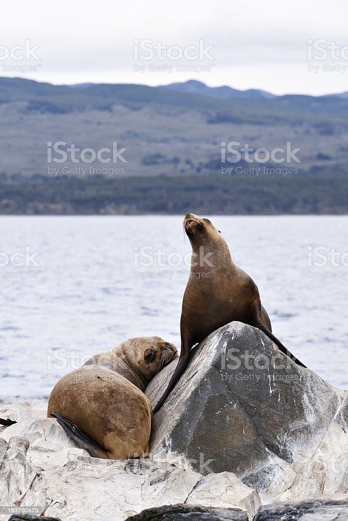 Lazy Sea Lion Duo stock photo