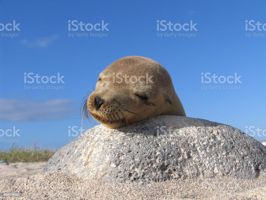 Lazy seal on the rock royalty-free stock photo