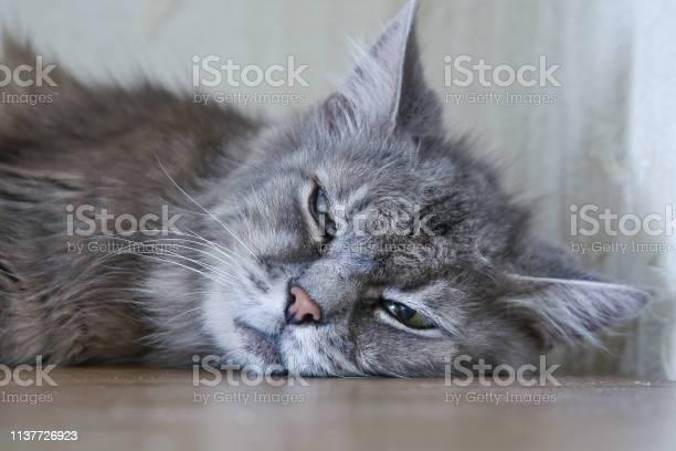 Lazy sleeping cat picture id1137726923?b=1&k=6&m=1137726923&s=612x612&h=k4flwq90xz37u zwj4cr6tzq2fci6iqb2np3 w63eku=