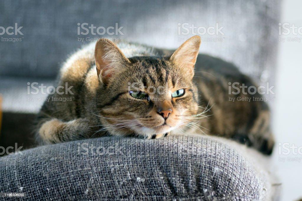 Lazy sleepy marble striped cat, portrait of boring domestic tabby...