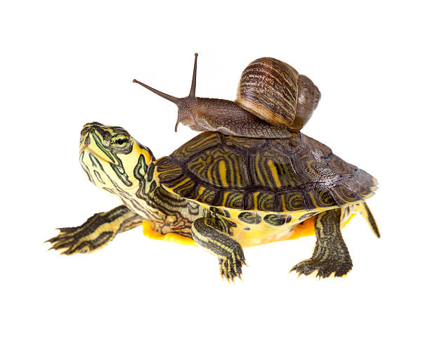 Lazy snail lift on turtle stock photo