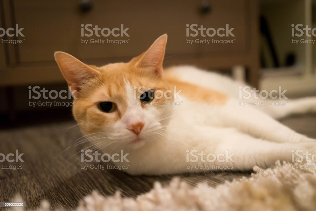 Lazy Soft Cat royalty-free stock photo