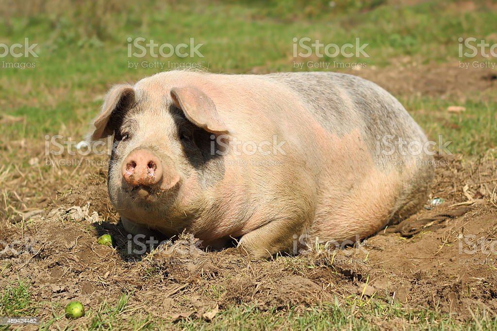 lazy sow laying down stock photo