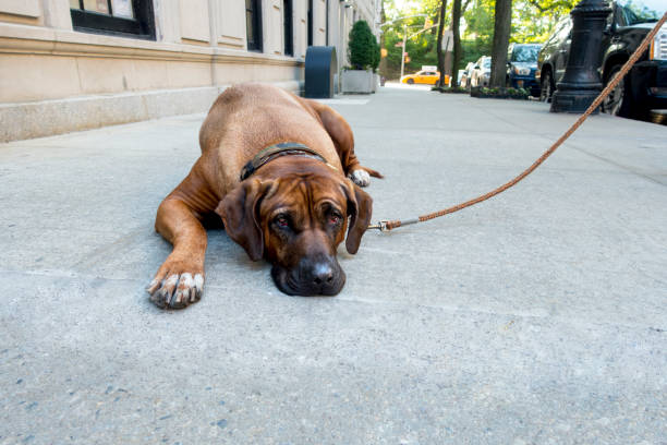 Lazy stubborn english mastiff pet lies down on new york city side picture id1050040898?b=1&k=6&m=1050040898&s=612x612&w=0&h=lenkmivgcufek7py6vhh0zkdhfgzhcyg7ueoey75gdw=