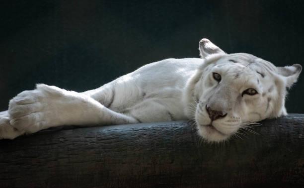 lazy white lion stock photo