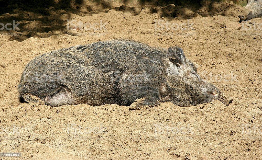 Lazy Wild Boar royalty-free stock photo