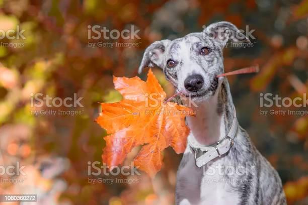 Lchelnder whippet sitzt mit einem orangen ahorn blatt im maul im wald picture id1060360272?b=1&k=6&m=1060360272&s=612x612&h=ifg 3utkqqlawtaw8njr0rhnfg45bva vofjvjhzcny=