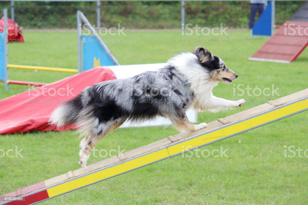 Le Chien Shetland Lors d ' un Concours canin d'agility – Foto