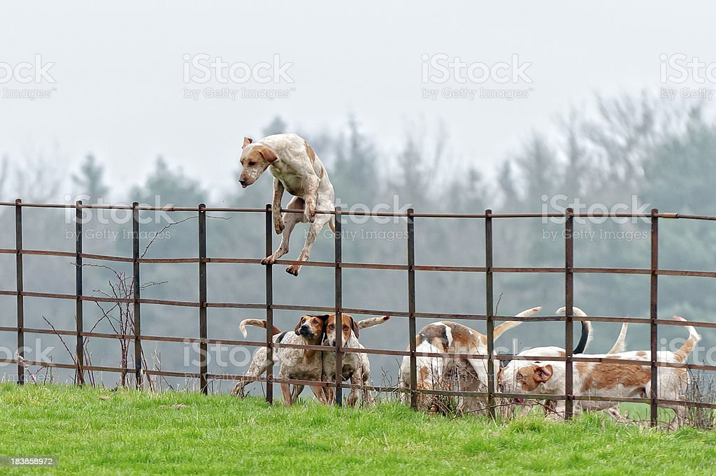 Lead pack dog jumps a fence in rural England foxhound leading the pack over a fence in rural england Above Stock Photo