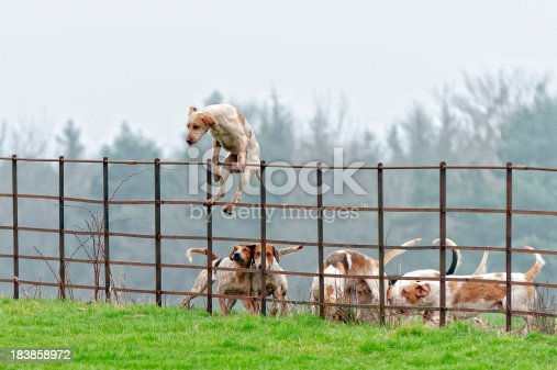 foxhound leading the pack over a fence in rural england