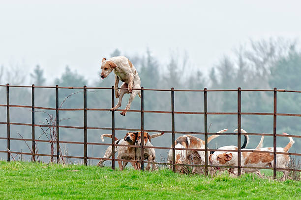 lead pack dog jumps a fence in rural england - dog jumping stock photos and pictures