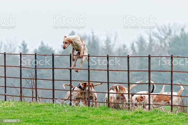 Lead Pack Dog Jumps A Fence In Rural England Stock Photo - Download Image Now