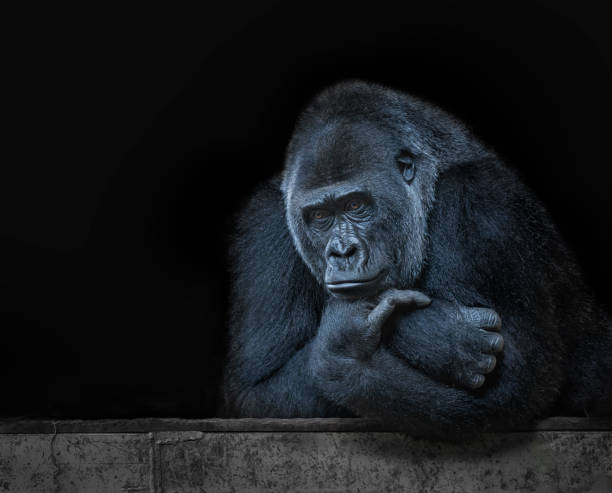 Leader gorilla thinking, black background Leader gorilla thinking, with the lost look, in a black background gorilla stock pictures, royalty-free photos & images