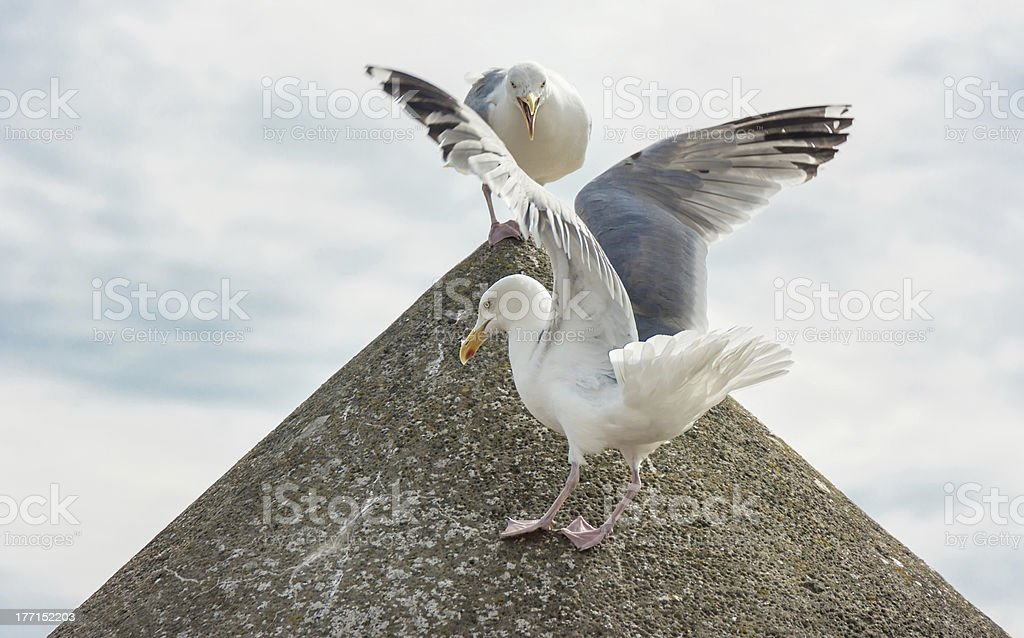 Leader on a Pyramid shouting at fellow bird royalty-free stock photo