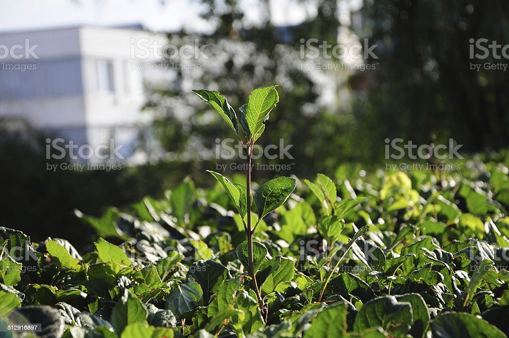 leader plant stock photo