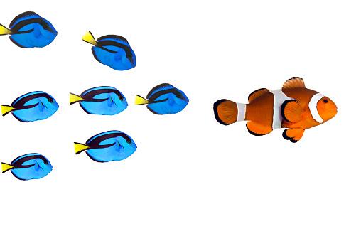 Leadership Concept,Paracanthurus hepatus and clownfish