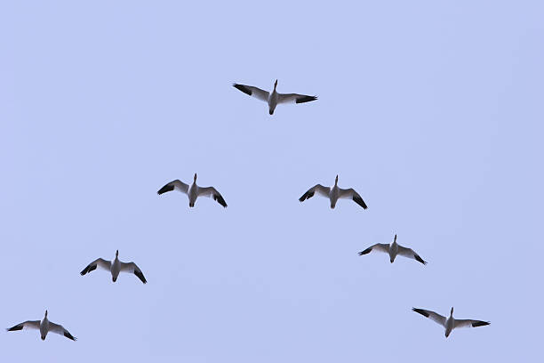 Leadership  goose bird stock pictures, royalty-free photos & images