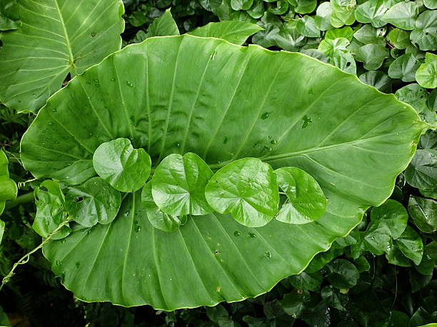 Feuille et la collaboration des Alocasia macrorrhiza - Photo