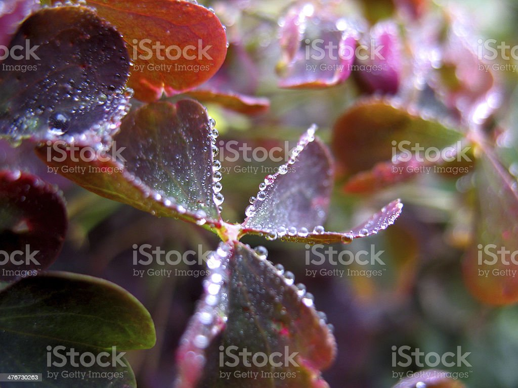 leaf and drops royalty-free stock photo