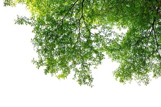 葉や小枝は、白い背景で隔離 - 枝 ストックフォトと画像