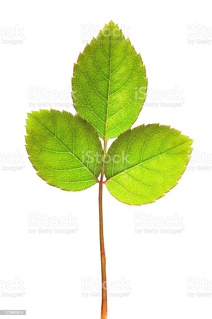 Leaf as tree. royalty-free stock photo