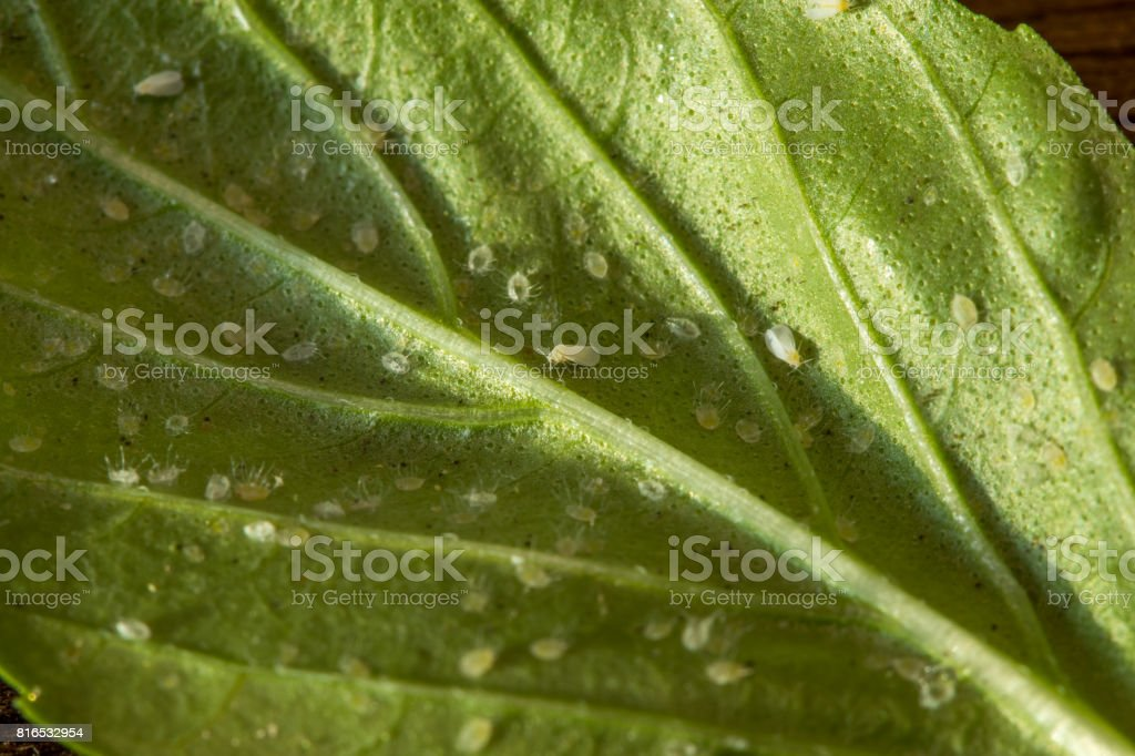 A leaf attacked by pests. List of basil infested Aleyrodoidea. stock photo