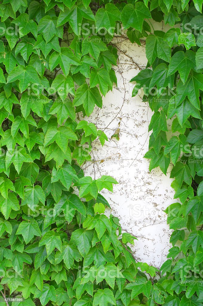 Leaf background on the wall royalty-free stock photo
