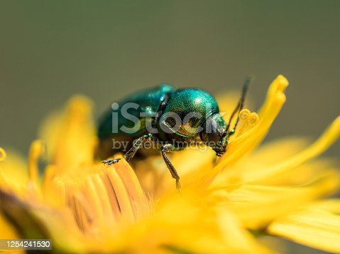 Dead-nettle leaf beetle (Chrysolina fastuosa) on a yellow flower - a species of beetle from a family of Chrysomelidae.