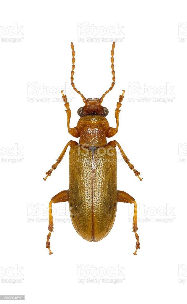 Leaf Beetle Orsodacne on white Background royaltyfri bildbanksbilder
