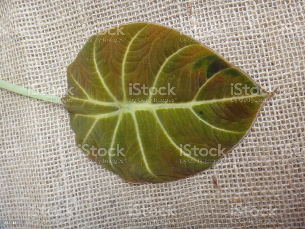 Leaf - Black velvet, elephant's ear or dwarf alocasia stock photo