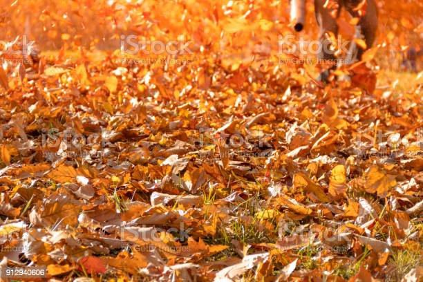 Photo of Leaf blower shown on side yard blowing fallen leaves into a pile as a huge oak with golden leaves stands behind