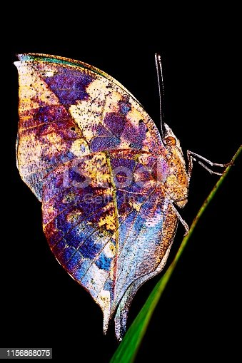 Leaf butterfly (Kallima inachus) - black background.