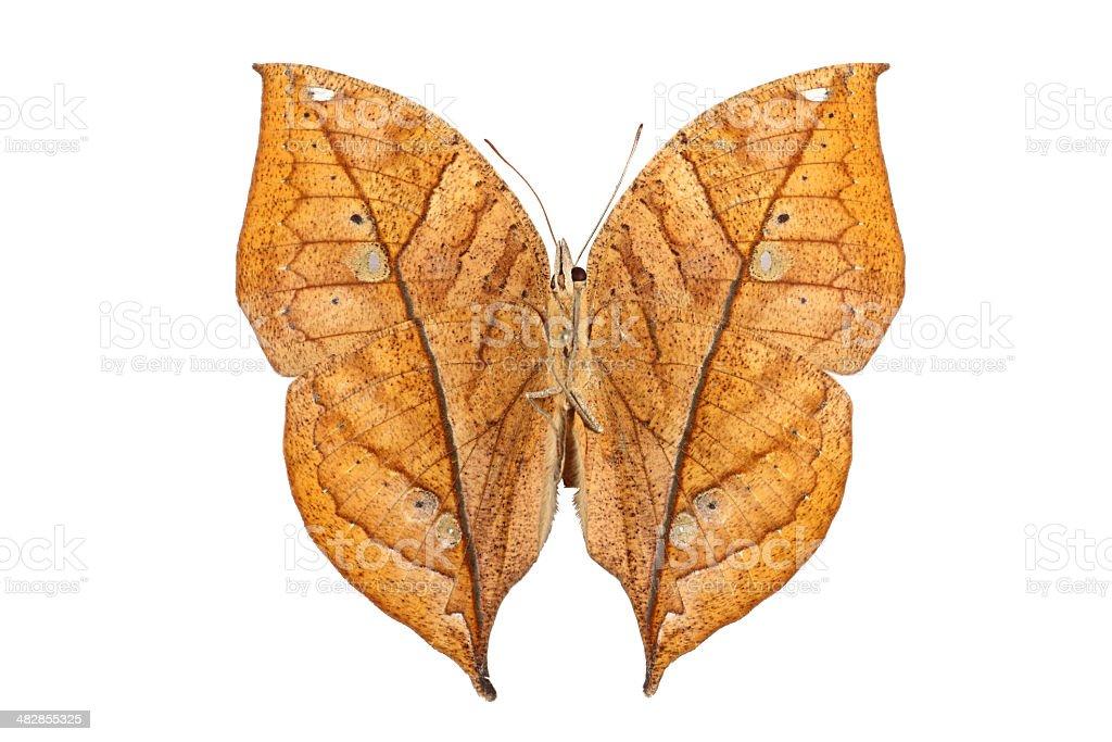 Leaf butterfly - Kalima stock photo