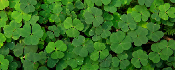 leaf clover background - st patricks days stock photos and pictures