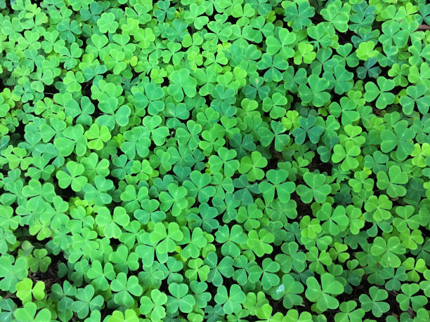 4 leaf clover background - luck of the irish stock photos and pictures