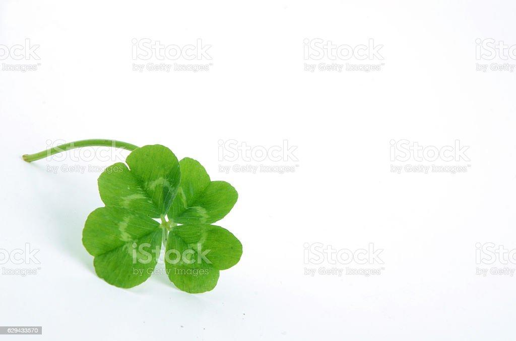 4 leaf clover stock photo