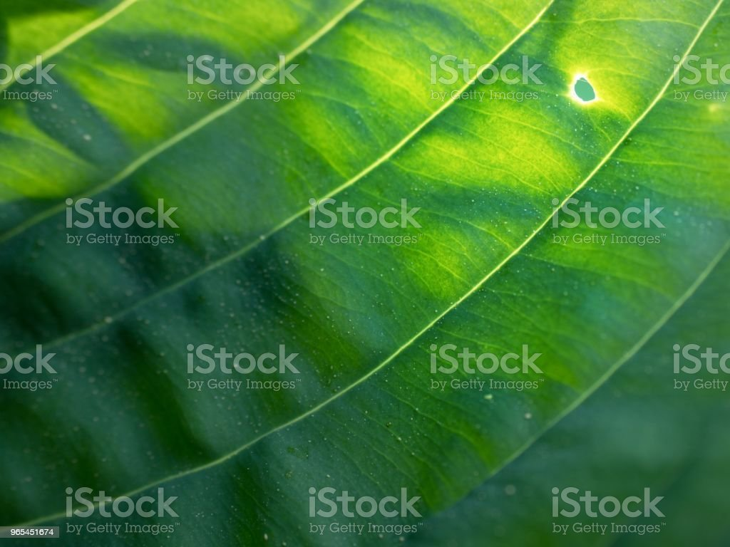 Leaf contour of the hostа plan, lush foliage. Dark green colored leaves royalty-free stock photo