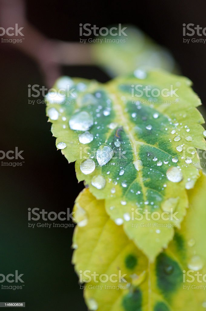 Leaf covered with raindrops stock photo