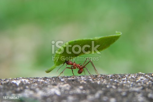 A leaf cutter ant carrying a huge leaf in his mouth while zipping along the edge of a sidewalk in the Soberania National Forest in Panama. Shallow depth of depth with selective focus on ant and leaf. The speed that the ant was traveling, the limited field of depth and the extremely small size of the subject made this a very gratifying image to capture.